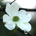 White Dogwood Spring Tears by Lee Hiller