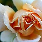 An Apricot Rose by TeAnne