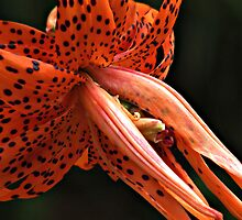 Tiger Lily by Kathy Yates