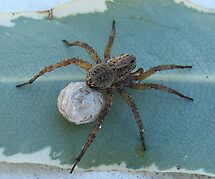 Wolf Spider lugging Eggsac by iamelmana