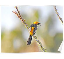 Hooded Male Oriole Poster