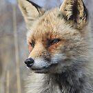 Red Fox_4736 by DutchLumix