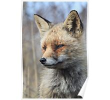 Red Fox_4736 Poster