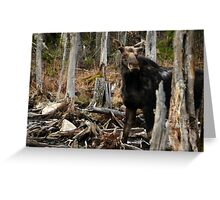 Bull Moose In Spring - Maine Greeting Card