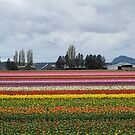 Tulip Town Mt Vernon, WA All Colors by Angela Fisher