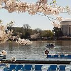 Cherry Blossoms Washington DC by dcborn