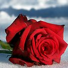 A Rose by Devon Mallison