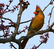 Lady Cardinal by Lisa G. Putman