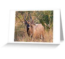 Male Nyala Greeting Card
