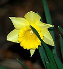 A Daffy Dill....Little late for Easter... by Larry Llewellyn