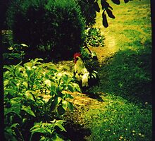 Rooster by Sally McColl