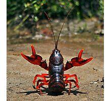 Crustacean conductor Photographic Print