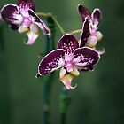 Purple Orchids by Karen E Camilleri