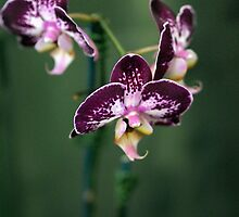 Purple Orchids by Karen E Camilleri