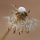 Dandelion portrait by Harryshotshots