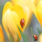 Ladybird beetles  on crocus. Coccinella septempunctata by pogomcl