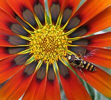 Gazania With Hoverfly by Sherilee Evelyn
