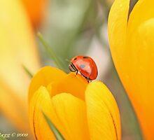 Ladybird beetle  on edge of a crocus. Coccinella septempunctata by pogomcl