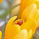 Ladybird beetle  explores interior of yellow crocus. Coccinella septempunctata by pogomcl