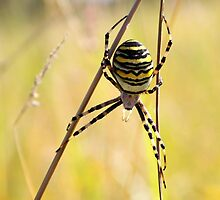 Acrobatic Wasp Spider by Jo Nijenhuis