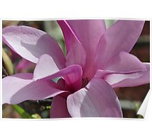 Magnolia bloom? Poster