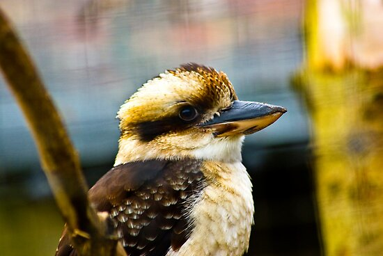 Kookaburra by Trevor Kersley