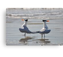 caspian terns doing the dance on beach Canvas Print