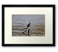 immature double crested cormmorant Framed Print