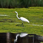 great egret by cetrone