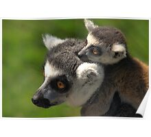Ring-tailed Lemur with Baby Poster