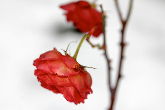 Rose is a rose is a rose is a rose by Richard Pitman