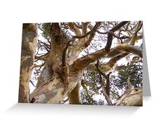 Twisting & Curling as the wind shaped the old Eucalyptus tree. Greeting Card