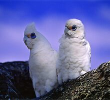 Australian Little Corellas, couple - portrait no.2 by graphicscapes