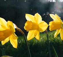Daffs 1 by TREVOR34
