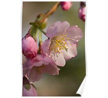 Cherry Blossom Time Poster