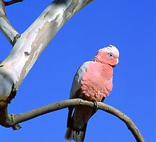 Australian Galah on eucalypt tree by graphicscapes