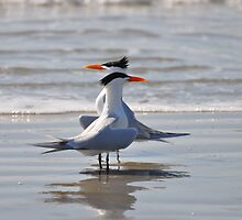caspian terns  by cetrone