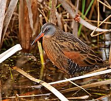 Virginia Rail - Dunrobin Ontario by Michael Cummings