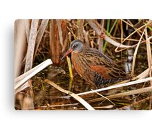 Virginia Rail - Dunrobin Ontario Canvas Print