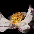 Portrait of a Camellia Flower by Samuel Gundry