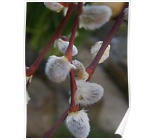 Fluffy Catkins Poster