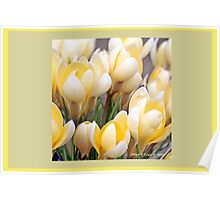Yellow crocus in early spring  A Poster