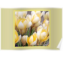 Yellow crocus in early spring B Poster