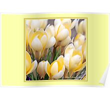 Yellow crocus in early spring C Poster