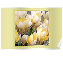 Yellow crocus in early spring D Poster