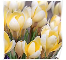 Yellow crocus in early spring Poster