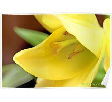 Lily Golden Splendor Poster