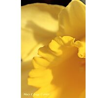 Quarter of jonquil Photographic Print