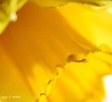 Daffodil  by pogomcl