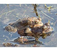 American toads mating. Photographic Print